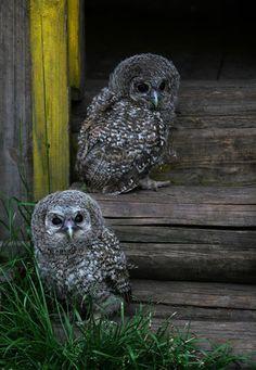 Owls by Denya7 Pinned by www.myowlbarn.com