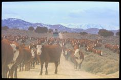 Privately owned welfare cattle being herded onto public land and wild horse…