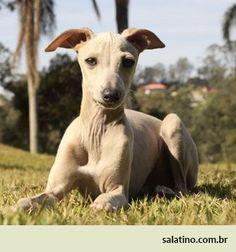 White/Cream Italian Greyhound  #dog #salatino #clubesalatino #canil #perro #dogs #cute #love #nature #animales #dog #ilovemydog #ilovemypet #cute #galgos #greyhound #galgoespanhol #galgo
