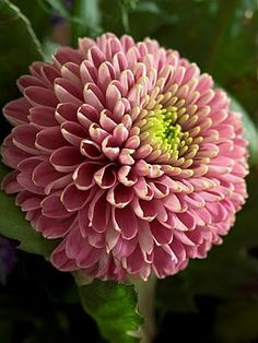 26 Pink Flowers to Create Beautiful Garden Types Of Flowers, Pretty Flowers, Pink Flowers, Zinnias, Dahlias, Summer Plants, Chrysanthemum Flower, Pink Garden, Passion Flower