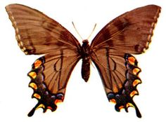 The Troilus Butterfly (male)