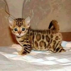 Unfortunately, something as cute as a dwarf cat often comes at a price. Those cute looks are the result of genetic deformities, and breeders sometimes intentionally breed these deformities into kittens to cash in on their cuteness.