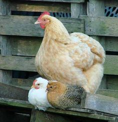 mother hen :)
