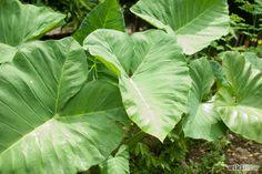 Image titled Grow Elephant Ear Plants Step 1