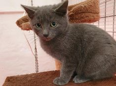 Anton is a typical kitten - he loves to play. If you would like to meet Anton, please contact. West Branch, British Shorthair, White Cats, Go Outside, Anton, Dog Friends, Charity, Dog Cat, Adoption