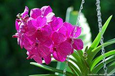 Orchidée vanda rose : les fleurs de Vanda sont très colorées, souvent marquées de ponctuations claires. Elles sont rarement parfumées. Rose, Plants, Blog, Voici, Gardens, Garden Care, All Flowers, Planting Flowers, Vanda Orchids