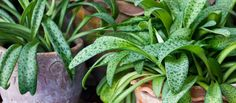 Gnats, especially, cannot stand up to vinegar. If you notice bugs infesting your houseplants, spray a one part vinegar and five parts water mixture on the leaves. Dilute this mixture even more and use it the next time you water the plants.