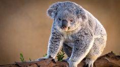 Nature Animals Versus Koalas Animal World 1920x1080 Wallpaper Art HD Wallpaper ..
