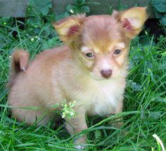 Hammy the Chihuahua