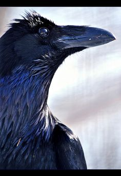 "I would Love to have a pet raven... VERY smart bird, and tamable.  Ravens can also be trained to talk.  I've seen one at a zoo say; ""Hangman's coming."" ;-)   VERY COOL BIRD!!! <3"