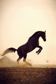 Desert Stallion, Filled With Spirit. Most Beautiful Animals, Beautiful Horses, Beautiful Creatures, Majestic Horse, Majestic Animals, Zebras, Horse Silhouette, Sunset Silhouette, All About Horses