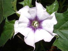 Datura stramonium, Moonflower