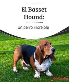 El Basset Hound: un perro increíble  Súper compañero, el Basset Hound es un perro de gran temperamento que tienes que conocer, en este artículo compartimos algunos datos de esta singular raza. #raza #perro #increíble #curiosidades