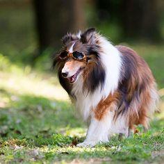 #sheltiegram #shetlandsheepdog #dog #dogoftheday #dogofthedayjp #dogstagram #petstagram #sheltie #shetlandsheepdog #sheltiesofig #dogstagram #いぬら部 #petstagram #cute #愛犬 #犬 #シェルティー #シェットランドシープドッグ #犬バカ部 #ふわもこ部 #dogscorner #friendlypets #instadog #sheltiepage #sheltiepageamazing_picturez_animals #canon #sheltiefeatures #dogsofinstaworld #bestphotogram_dogs #dogfeatures #ig_dogphoto #todayswanko #east_dog_japan