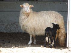 Bianca e nera: ovini in Sardegna
