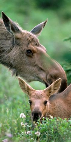 Mama and Baby moose. Hope I can see a baby moose some day. Animals And Pets, Baby Animals, Cute Animals, Moose Pictures, Animal Pictures, Beautiful Creatures, Animals Beautiful, Deer Family, All Gods Creatures
