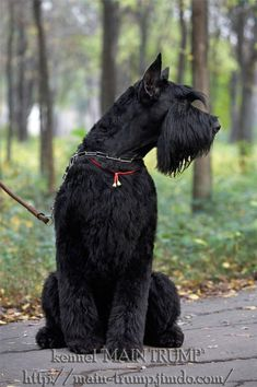 Find Out More On Energetic Miniature Schnauzer Dogs And Kids Black Schnauzer, Standard Schnauzer, Giant Schnauzer, Schnauzer Puppy, Fox Terriers, Bull Terrier Dog, Schnauzers, Miniature Schnauzer Puppies, Chihuahua Dogs