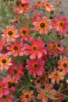Tahitian Sunset Coreopsis in a beautiful colour that every garden needs.