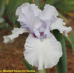 ~TB Iris germanica 'Flow Blue' (Meek, 1992)