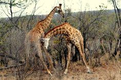 Volunteer Name: Rachel Holland Project Location: South Africa Program Dates: 19th of September to the 25th of October 2013 Volunteer placements:  Multi-Marine Experience (http://www.travellersworldwide.com/08b-south-africa/08-sa-multi-marine.htm) Animal Sanctuary (http://www.travellersworldwide.com/08b-south-africa/08-sa-adawn-sanctuary.htm) Veterinary with Wildlife (http://www.travellersworldwide.com/08a-south-africa/08-sa-we-veterinary-vision.htm)