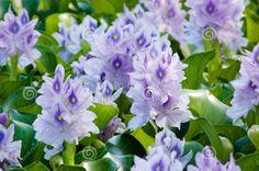 water hyacinths | Water hyacinth (Eichhornia crassipes) in bloom.