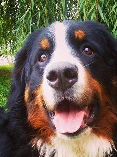HAPPY BERNERS | AKC Bernese Mountain Dogs | KARMA