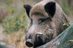 Wildschweinkeiler im Portraet - (Schwarzkittel - Wildschwein), Sus scrofa, Wild Boar tusker in portrait - (Wild Boar - Feral Pig)
