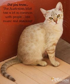 The Australian Mist is a #Cat breed with a really great personality that any cat owner will love. Want to learn how much you have in common with this breed?