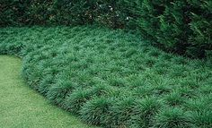 Regular Mondo Grass as ground cover -- Neil Sperry's top recommendation for ground cover in North Texas.   Full shade to part shade.