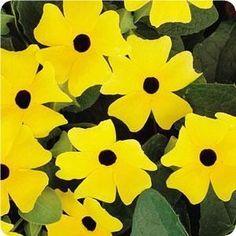 Thunbergia alata 'Sunny Lemon Star'