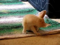 baby fox! trying really hard to jump on the bed & failing, like my little Elliott used to