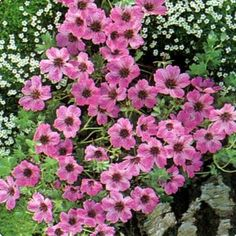 Ooievaarsbek | Planta Groencentrum Plants, Garden, Geraniums, Flowers, Floral, Nature