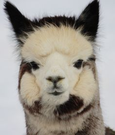 alpacas Jessica this is for you!! Haha