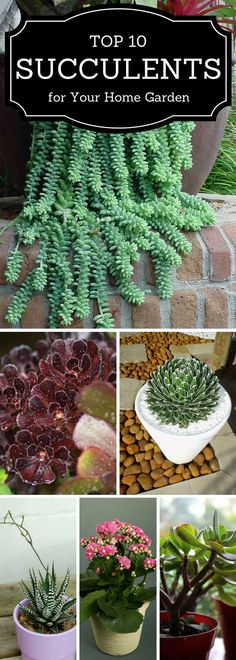top 10 succulents for your home or garden. add life to your home