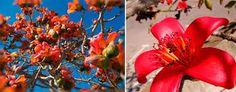 Resultado de imagen para Silk Cotton Tree in Yellow (Bombax ceiba)