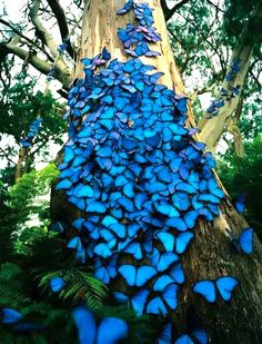 "TYWKIWDBI (""Tai-Wiki-Widbee""): Morpho butterflies have ears on their wings. They're an intense and stunning shade of blue."