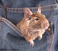 Degus - Worth knowing about the Degu Degu, Zoo Animals, Animals And Pets, Cute Animals, Jungle Theme Classroom, Classroom Themes, Pocket Pet, Capybara, Work With Animals