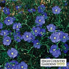 """Linum perenne Appar 