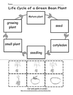 A simply activity to teach on the life cycle of a green bean. Includes six sequence cards with pictures and words, a cut and paste sheet and an observation log. In the cover page of the log students will label the parts of the plant and color the pictures.In page 1 students will draw a picture of how they planted their seed and write about it in the space provided.