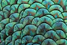 Abstract Photography Peacock Feathers Blue by EchidnaArtandCards
