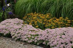 Rock 'N Grow Pure Joy Stonecrop (Sedum hybrid) blooms late summer to late fall. Full sun, drought tolerant. Mounded growth to 12 inches tall, 16 to 20 inches wide. Zones 3 to 9; Proven Winners