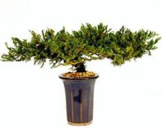 The World of Real Bonsai by Oxemegifts.com-Please allow up to 14 days for delivery.Neither plastic nor silk, this preserved bonsai tree has real foliage and a real wooden trunk that was carefully handcrafted and preserved to protect its natural fragrance, color and texture indefinitely. No watering, trimming or maintenance is required. With its timeless beauty evoking a feeling of nature, this accent piece accommodates any architectural setting. Our one-of-a-kind preserved bonsai is planted…