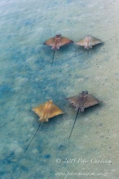 Bull Rays swimming in the shallow Langebaan Lagoon ©PeterChadwick Photo Galleries, Scenery, African, Bird, Shallow, Gallery, Swimming, Painting, Animals