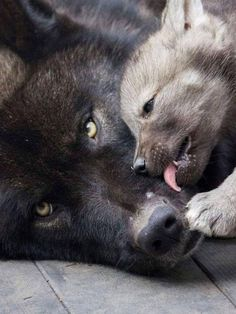 Baby Wolf Pup Cleans Mama Wolf as she learns from her Mama💕 Wolf Spirit, My Spirit Animal, My Animal, Wolf Husky, Wolf Pup, Wolf Love, Beautiful Wolves, Animals Beautiful, Beautiful Eyes