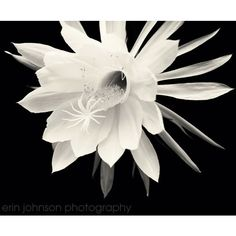 Flower Photography, Night Blooming Cereus Fine Art Photograph, Black... (40 CAD) ❤ liked on Polyvore featuring home, home decor, wall art, welcome wall art, black and white wall art, black white wall art, flower home decor and photographic wall art