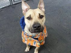 SAFE 12/30/14 --- Manhattan Center   SCOOBY - A1023510   MALE, TAN / BLACK, AM PIT BULL TER MIX, 2 yrs, 6 mos OWNER SUR - ONHOLDHERE, HOLD FOR ID Reason PERS PROB  Intake condition EXAM REQ Intake Date 12/18/2014, From NY 10016, DueOut Date 12/18/2014,  https://www.facebook.com/photo.php?fbid=925105164169030