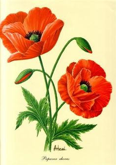 ru / Photo # 23 – Flowers, bouquets 1 – shennon - paint and art Art Floral, Watercolor Flowers, Watercolor Art, Impressions Botaniques, Poppies Tattoo, Plant Drawing, Silk Painting, Poppies Painting, Flower Pictures
