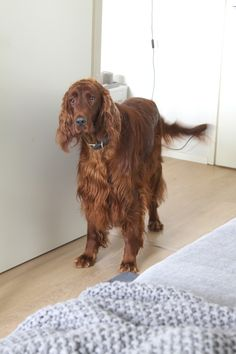 muotoseikka\ Ukkosensininen petaus / Denim and grey in the bedroom. Irish setter.