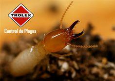 QUÉ SON LOS TUBOS DE BARRO QUE CONSTRUYEN LAS TERMITAS?  Los tubos de barro de las  termitas son pequeños túneles que se encuentran alrededor de los nidos de termitas.