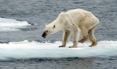 Emaciated Polar Bear drags her injured leg across the ice in Norway | Daily Mail Online